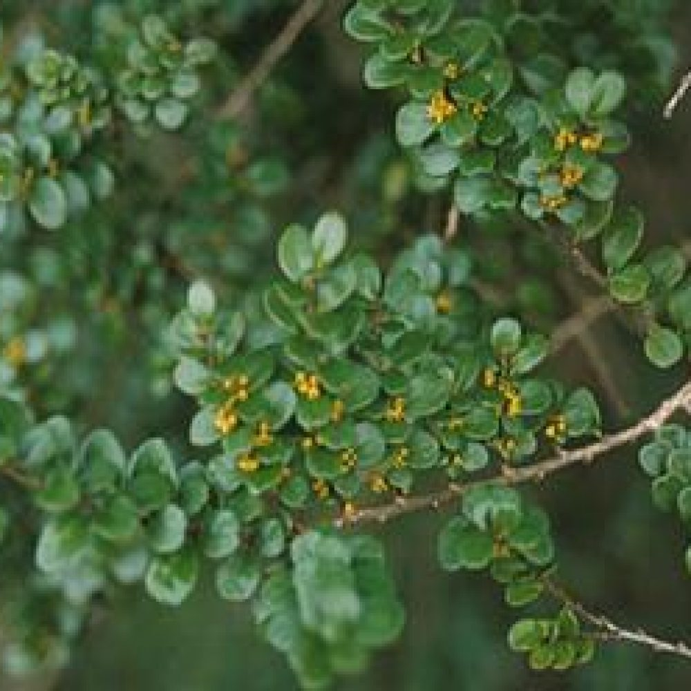 AzaraMicrophylla3.jpg