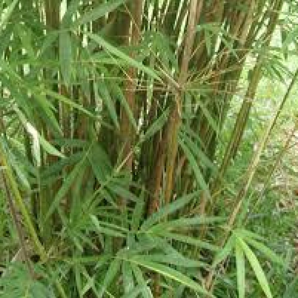 BambusaGracillis2-1.jpg