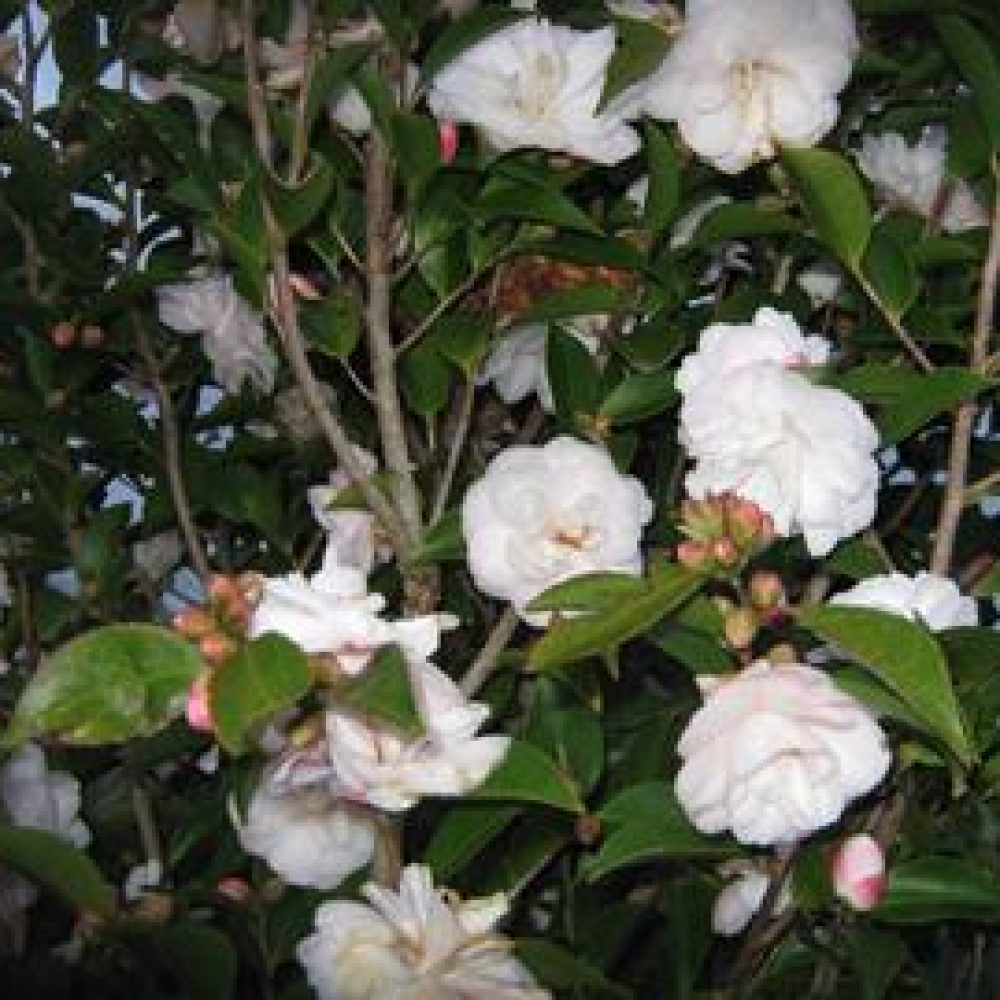 CamelliaCinnamonCindy1.jpg