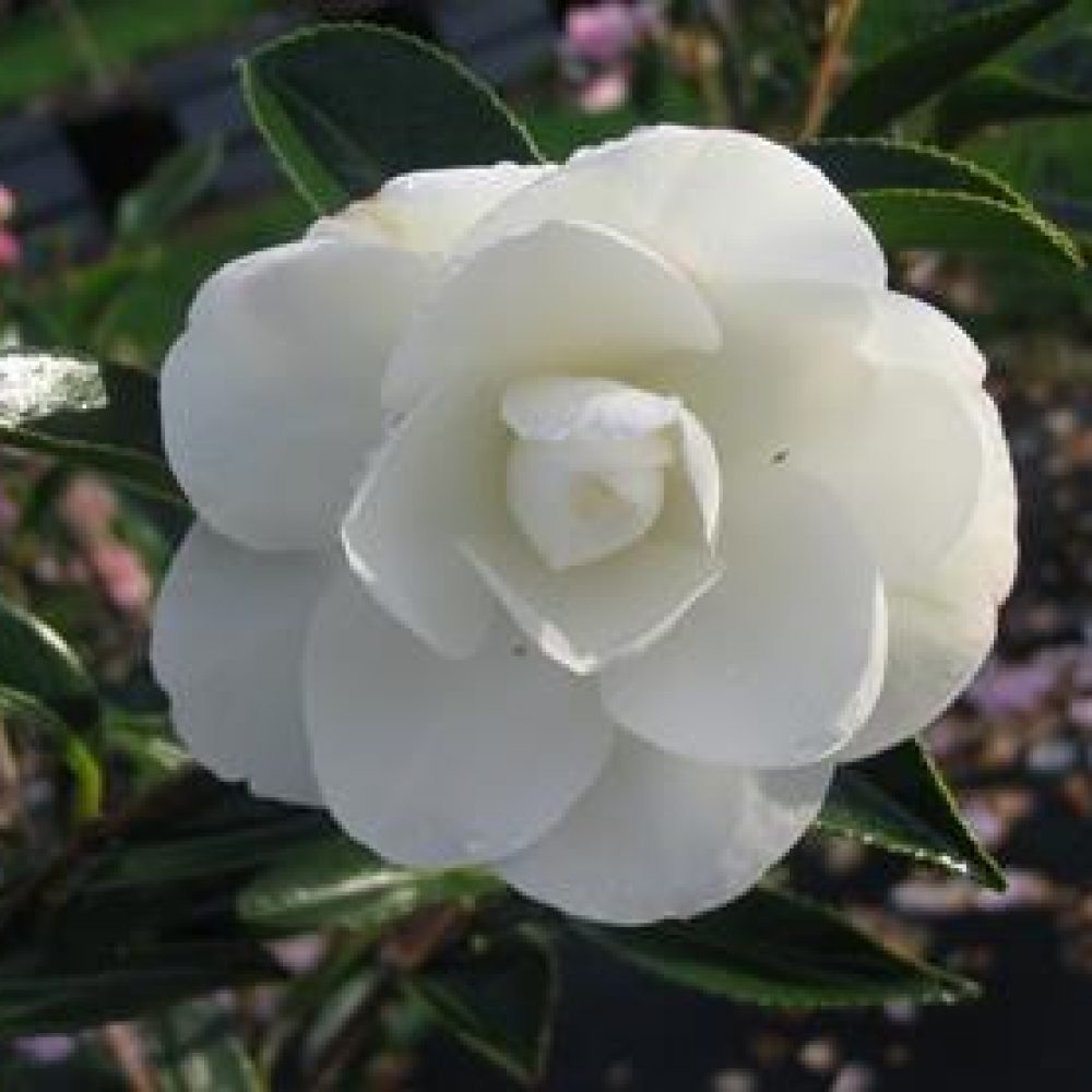 CamelliaEarlyPearly1.jpg
