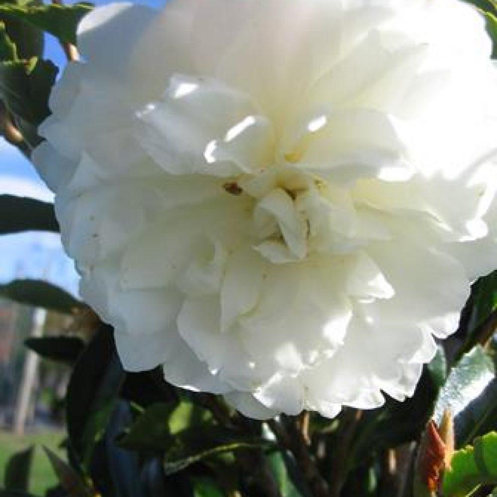 CamelliaFujiNoYuki1.jpg
