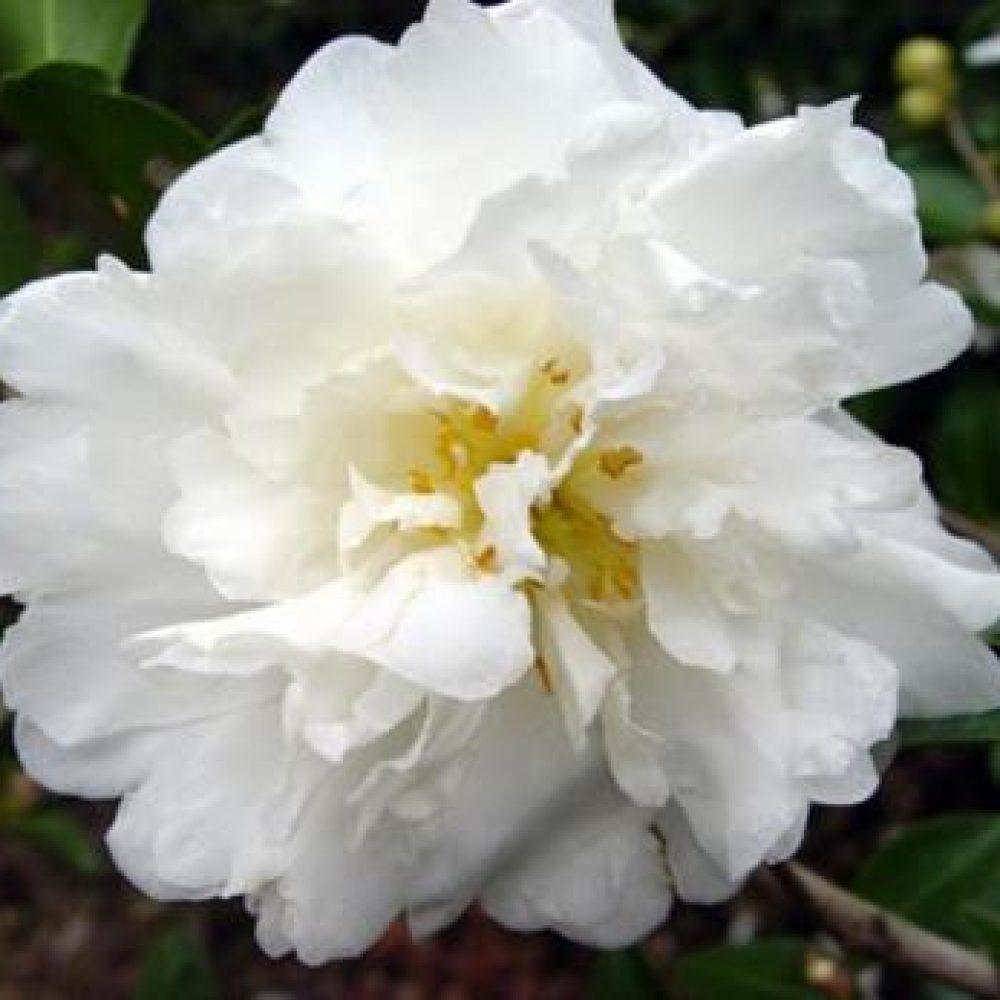 CamelliaMineNoYuki1.jpg