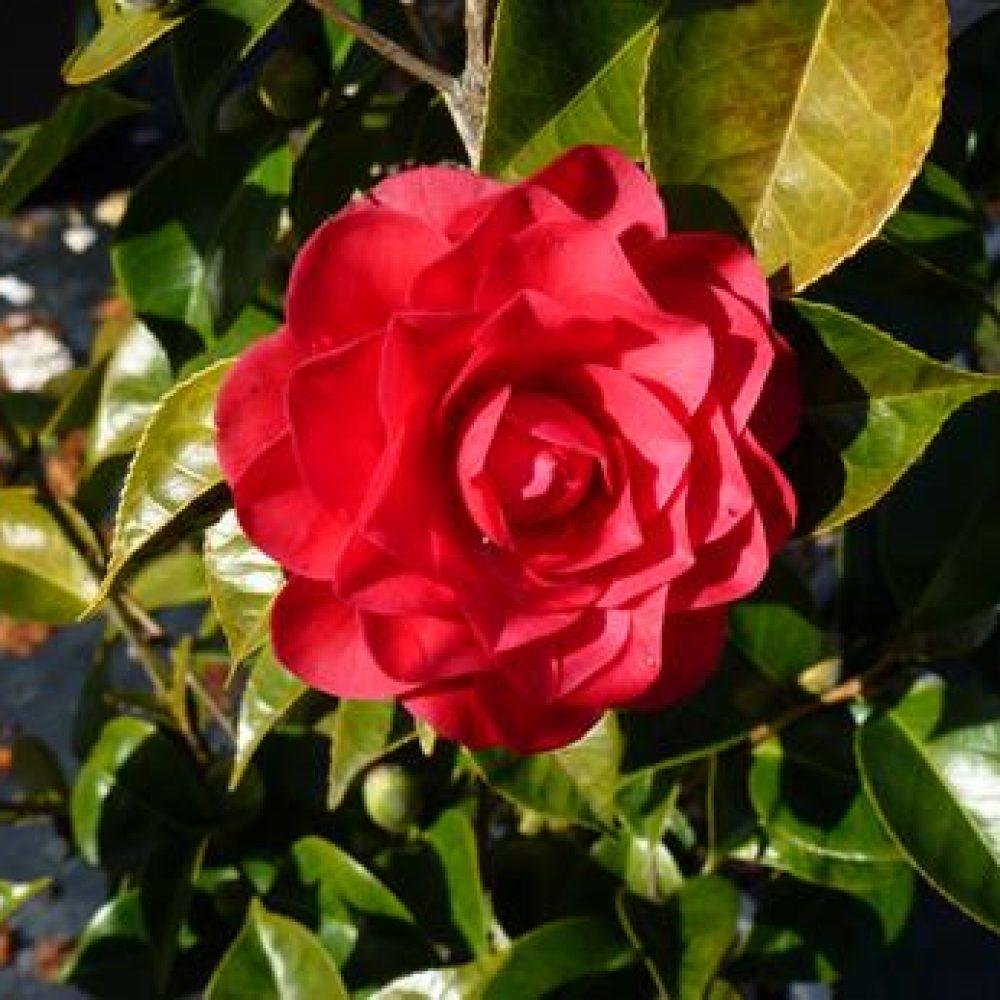 CamelliaRogerHall1.jpg