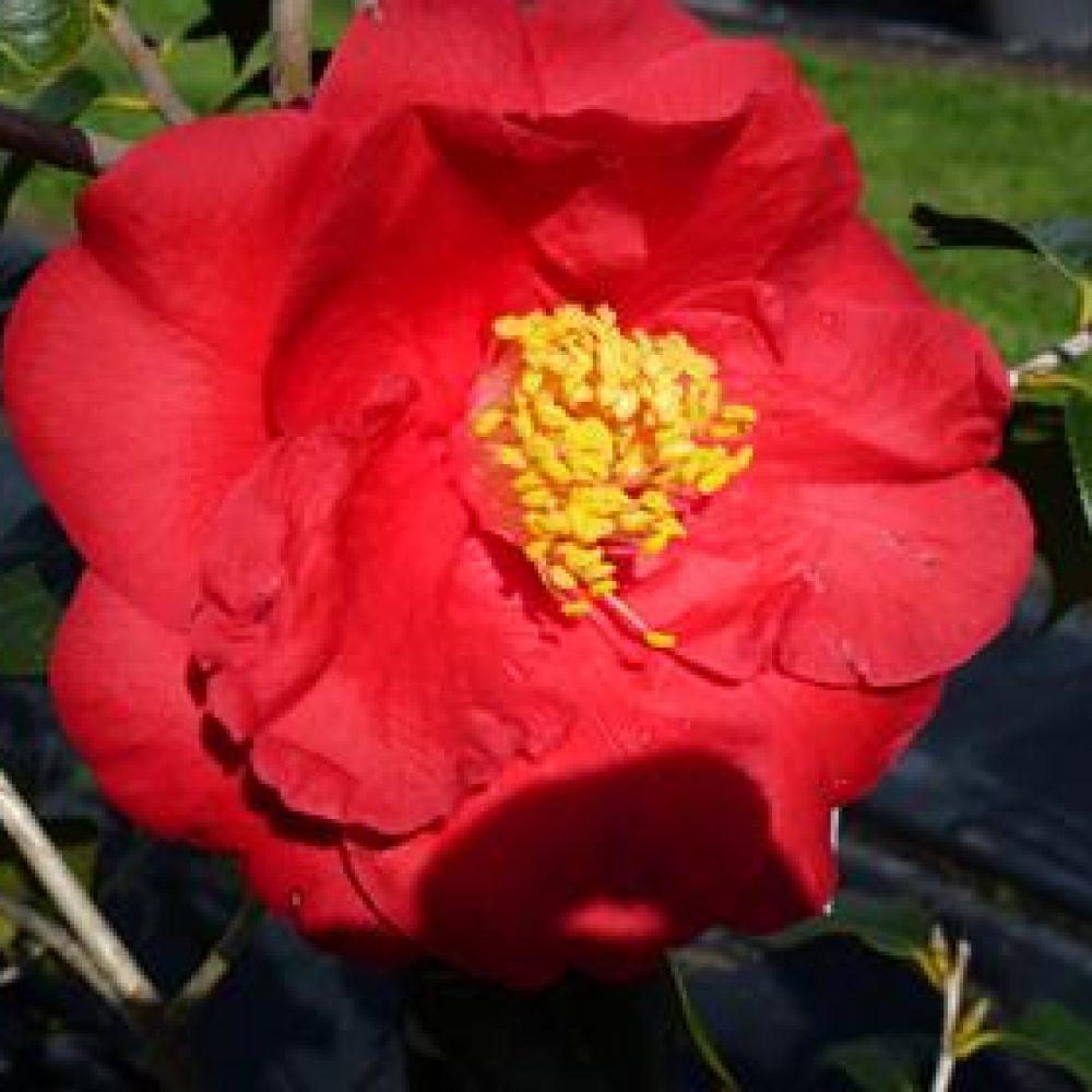 CamelliaTerrellWeaver1.jpg