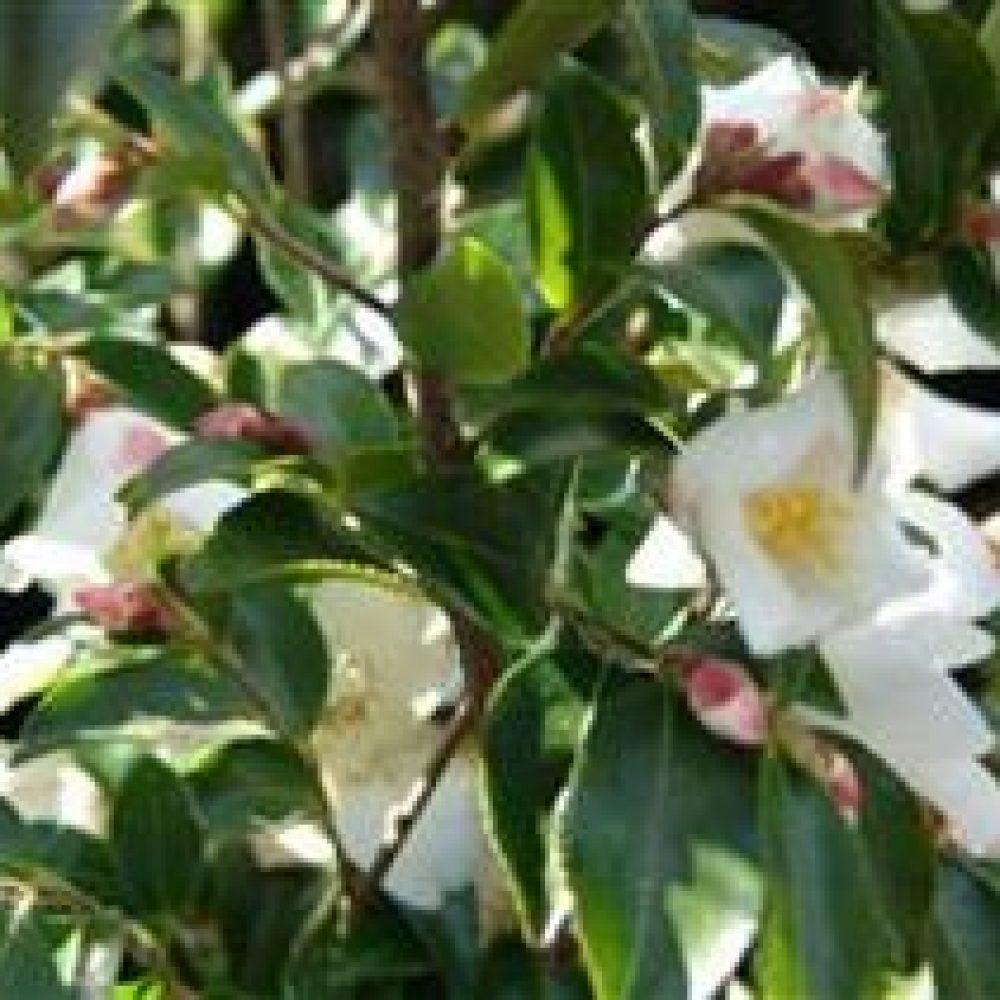 CamelliaTransnokoensis1.jpg