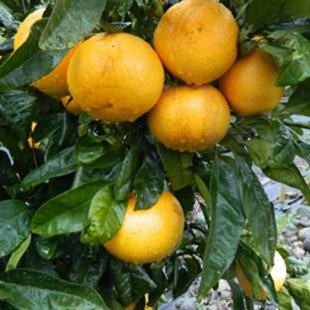 CitrusGrapefruitGoldenSpecial1-1.jpg