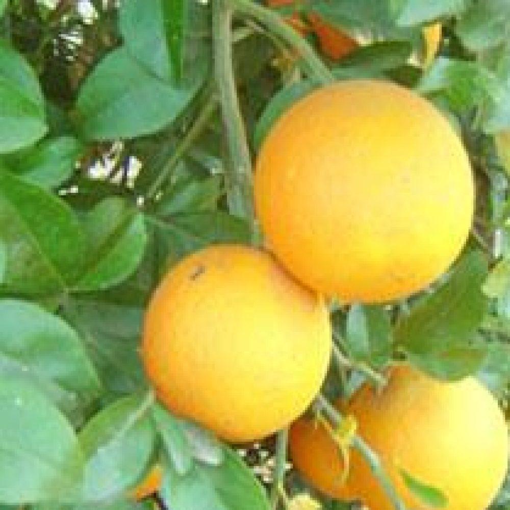 CitrusLemonade1-1.jpg
