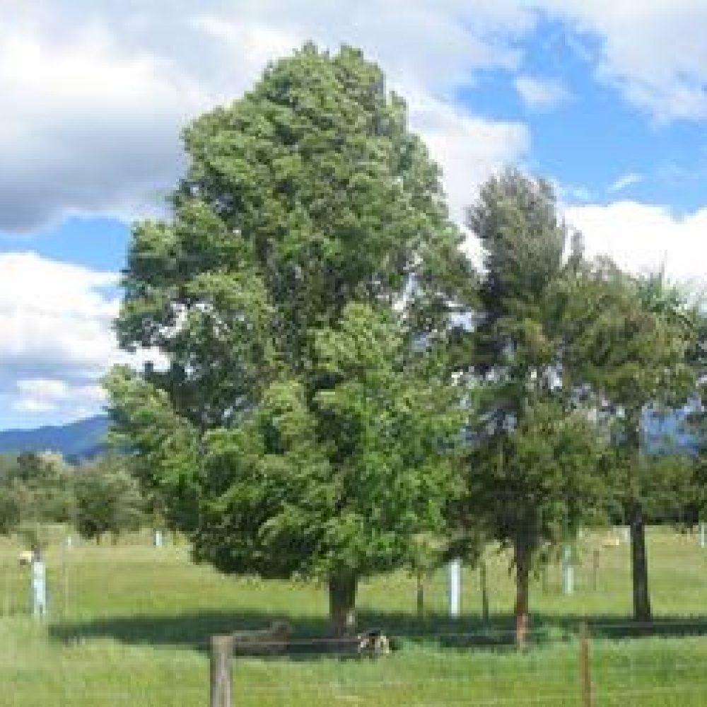 HoheriaAngustifolia3.jpg
