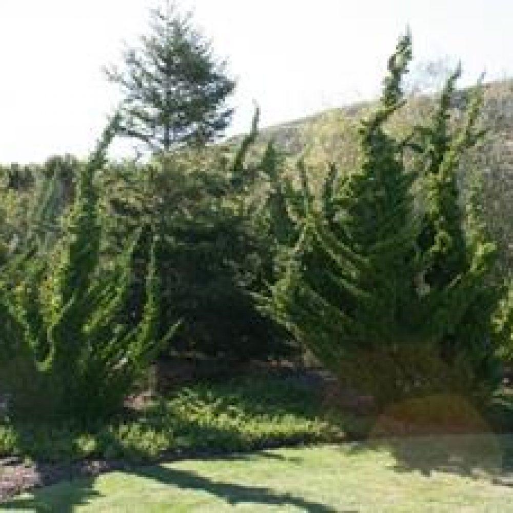 JuniperusKaizuku1.jpg