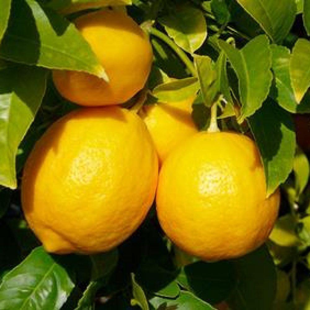 LemonMeyer1-1.jpg