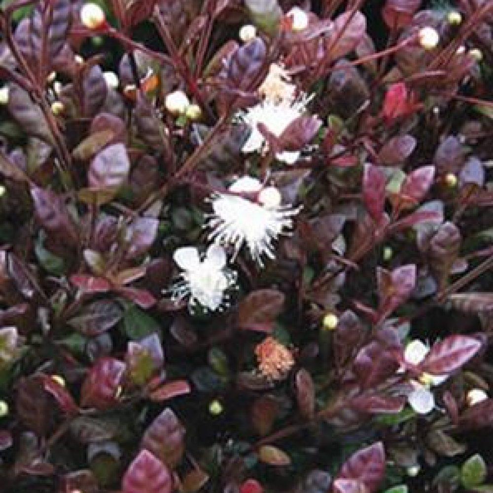 LophomyrtusKathryn1.jpg