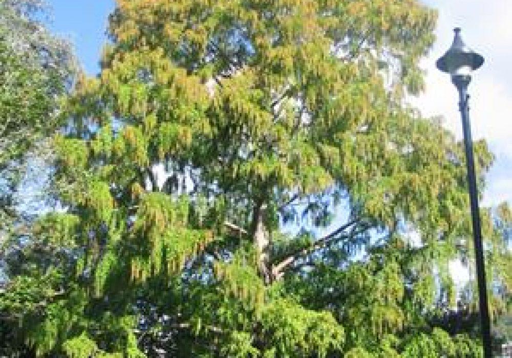 MetasequoiaGlyptostroboides1.jpg