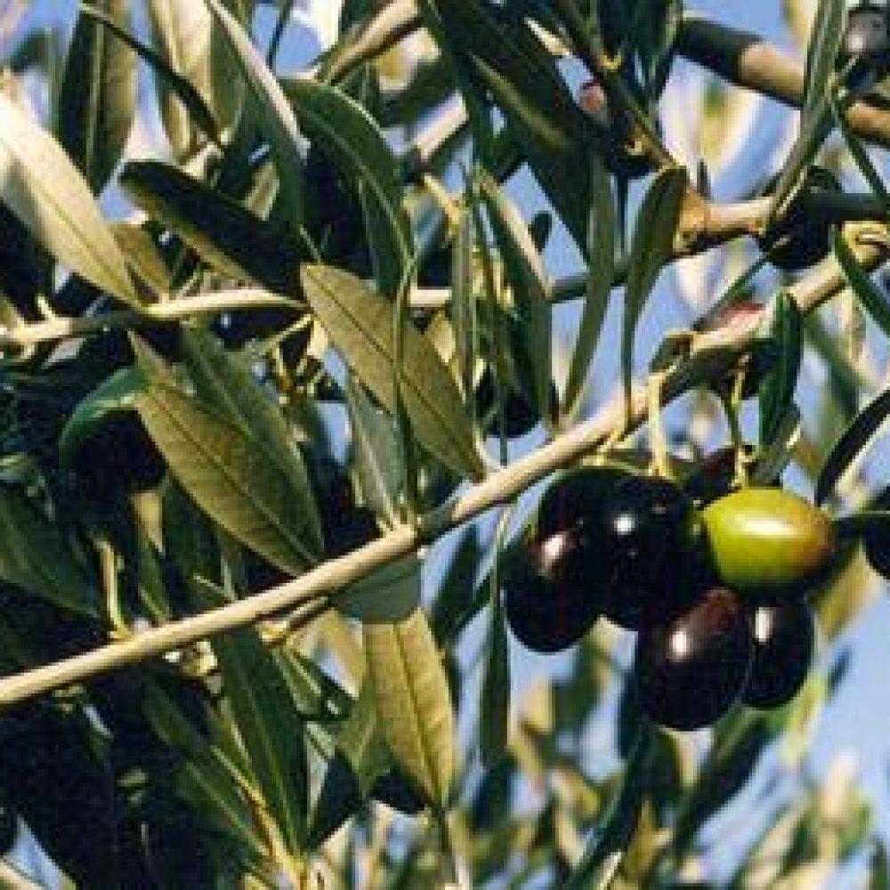 OliveFrantoia1-1.jpg
