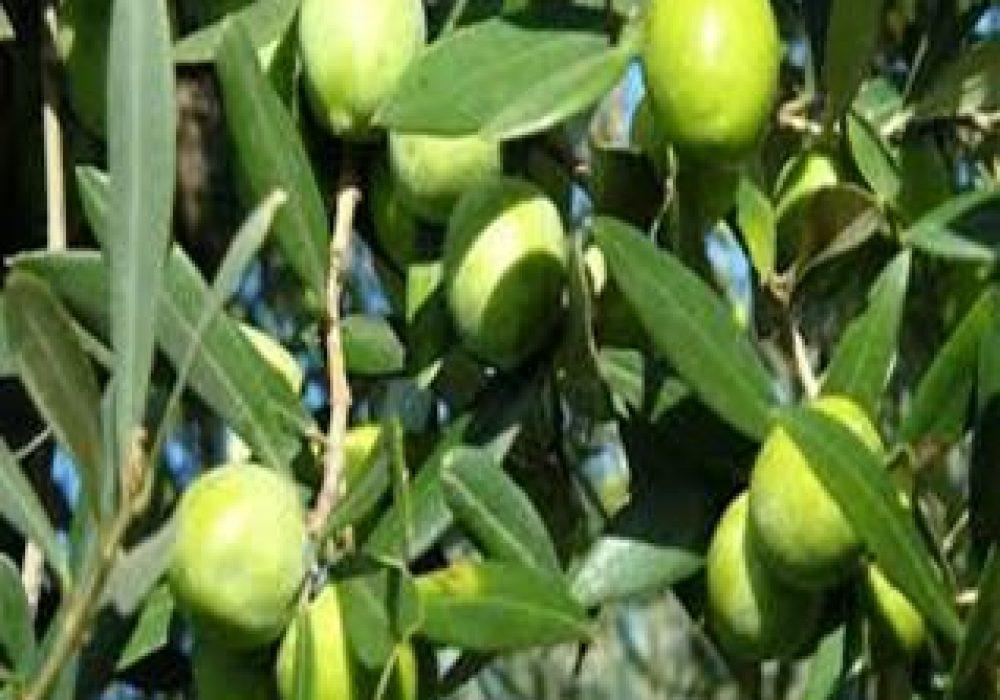 OliveNocellara1-1.jpg