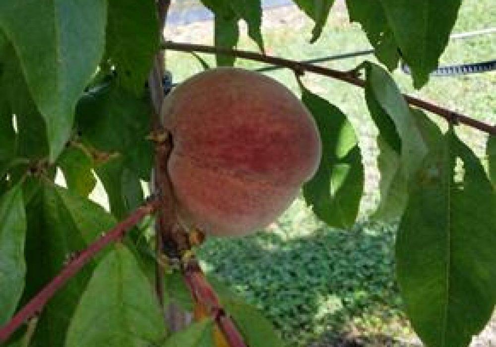 Peach-Blackboy-1.jpg