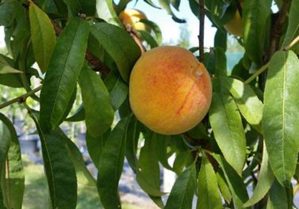 PeachGordonsGlory1-1.jpg