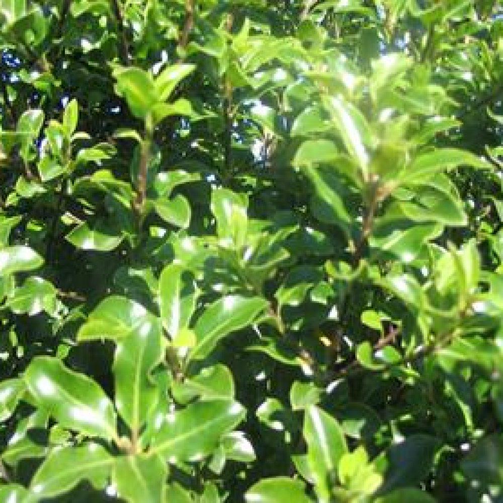 PittosporumTenufolium1-1.jpg