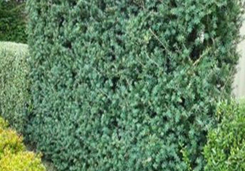 PodocarpusMatapouriBlue1-1.jpg
