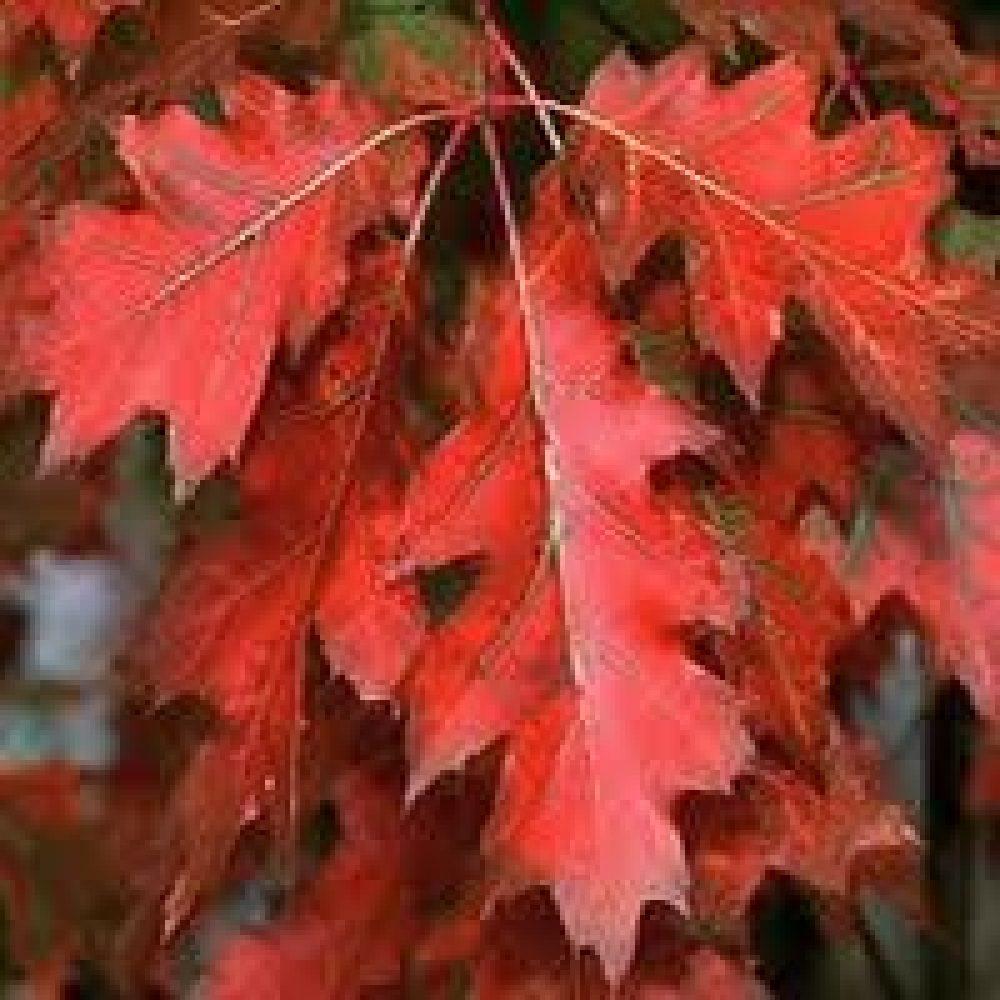 Quercus-Rubra1-1.jpg
