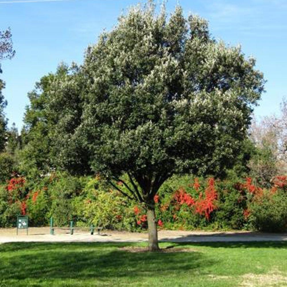 QuercusIlex2.jpg