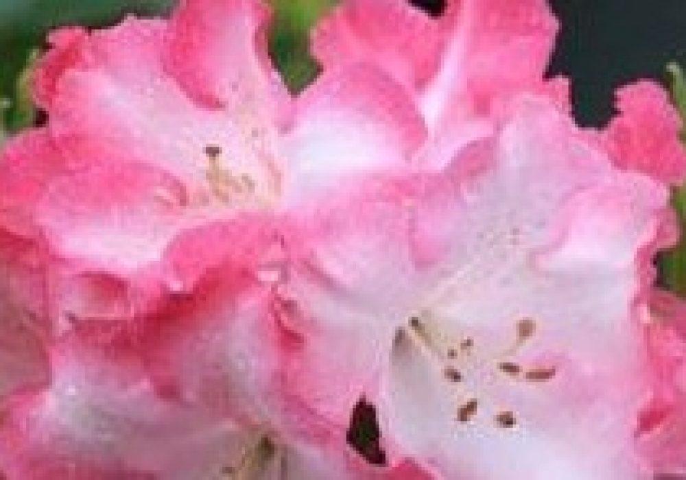 RhododendronLemsMonarch-e1443586112842-1.jpg