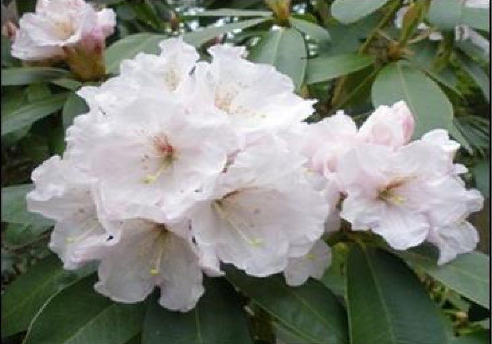 RhododendronMtEverest-1.jpg