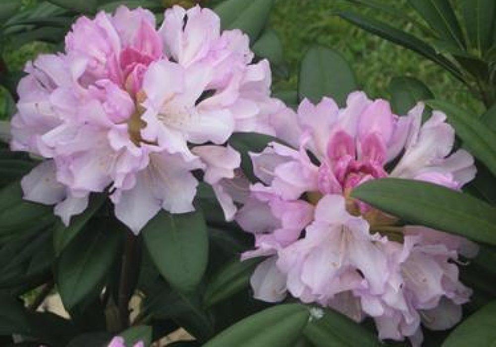 RhododendronPontiyak-1.jpg