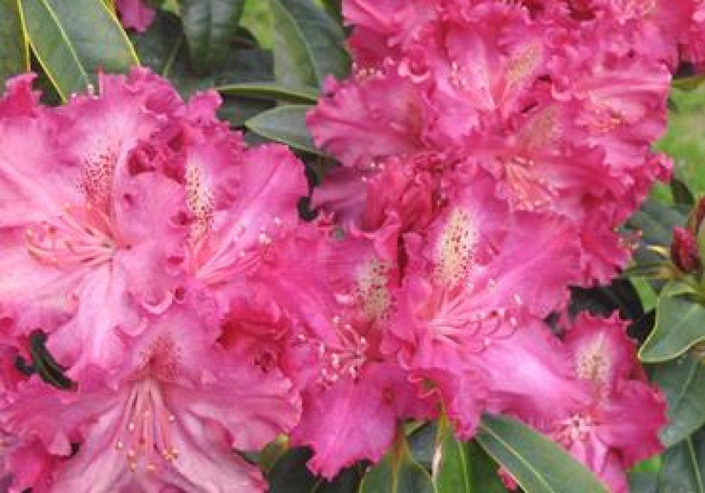 RhododendronPurpleLace-1.jpg