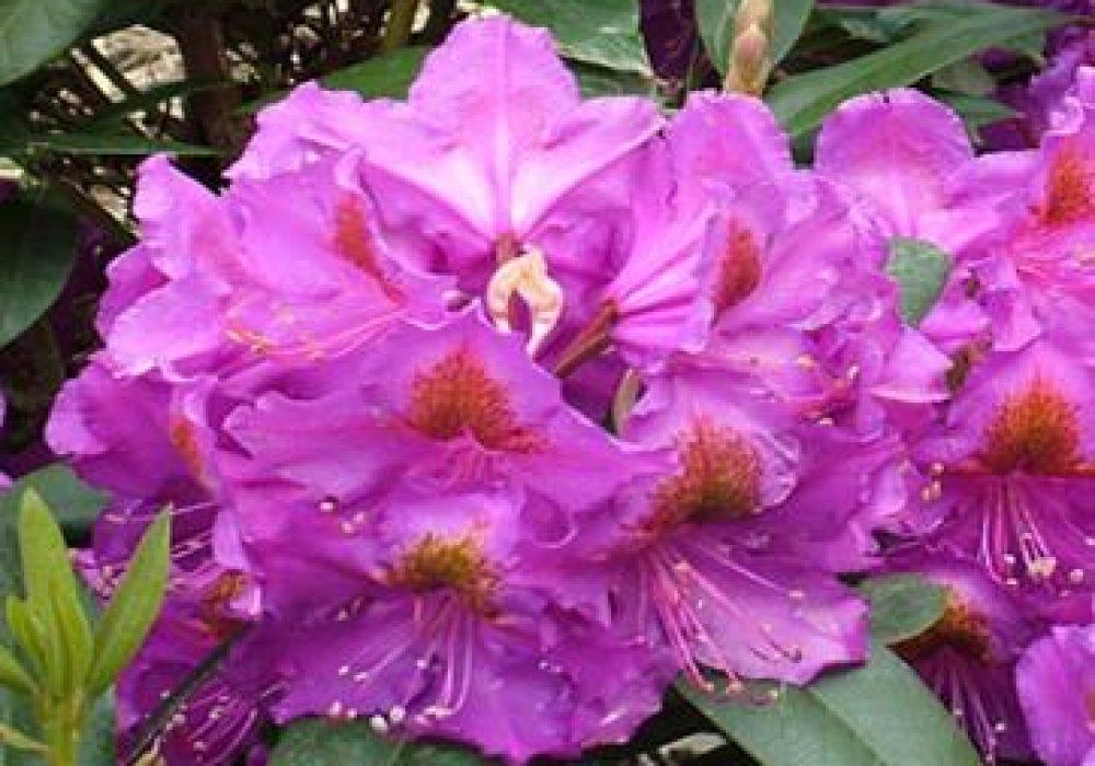 RhododendronRedEye-1.jpg