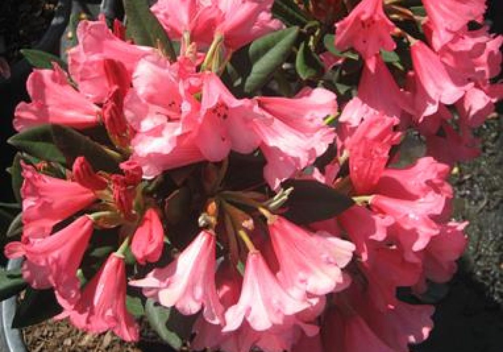 RhododendronWinsome-2.jpg
